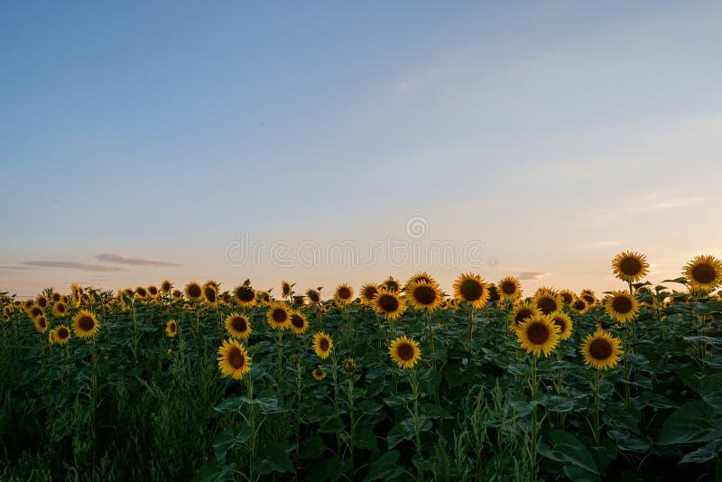 Campo do girassol luz agrícola verde amarela do crepúsculo do por do sol do campo de muitas cabeças de flor imagens de stock