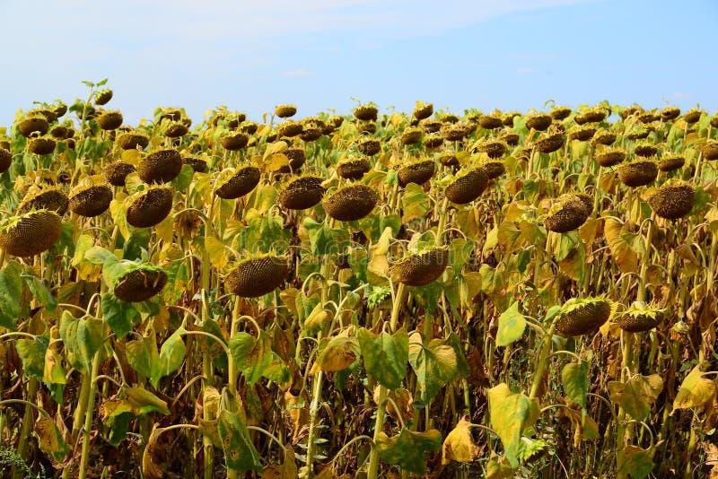 Campo do girassol maduro em agosto em Rússia imagens de stock