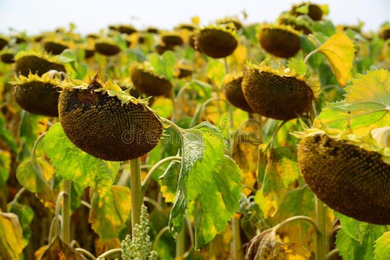 Campo do girassol maduro em agosto em Rússia imagem de stock royalty free