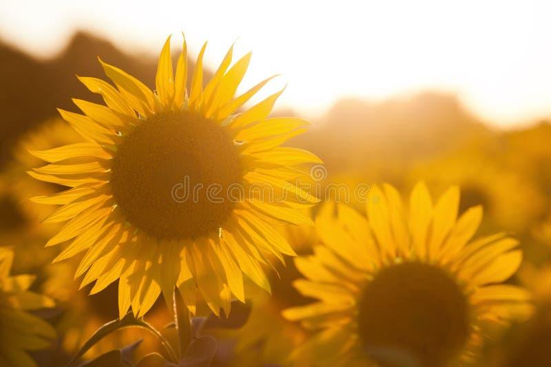 Download Campo Do Girassol No Luminoso Foto de Stock - Imagem de verão, campo: 26524750