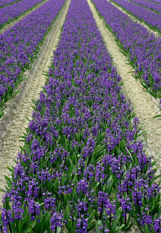 Campo do Hyacinth imagens de stock
