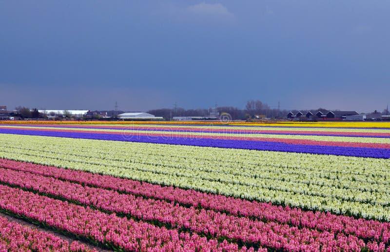 Campo do Hyacinth em Holland fotografia de stock