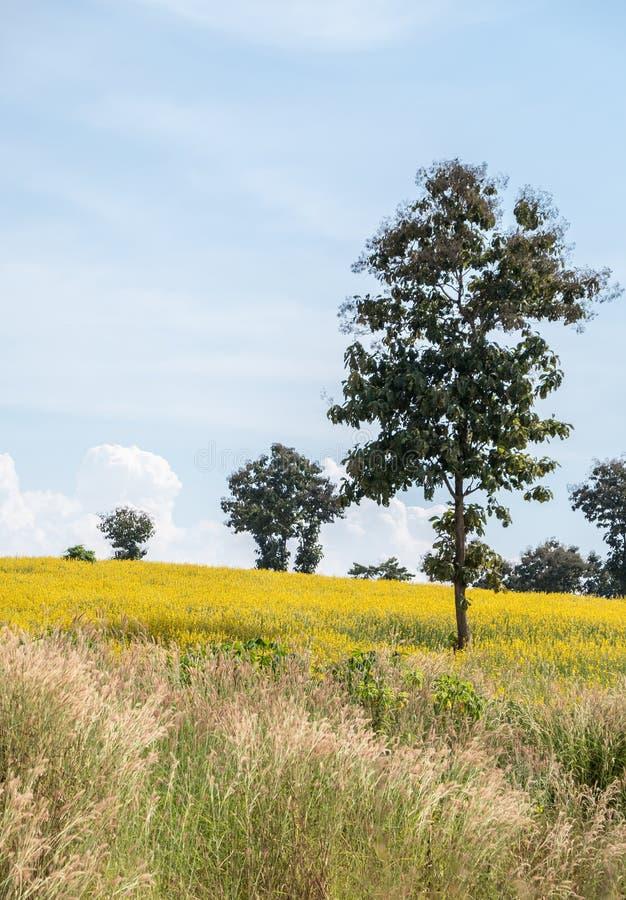 Campo do juncea do Crotalaria do Sunhemp no monte imagem de stock