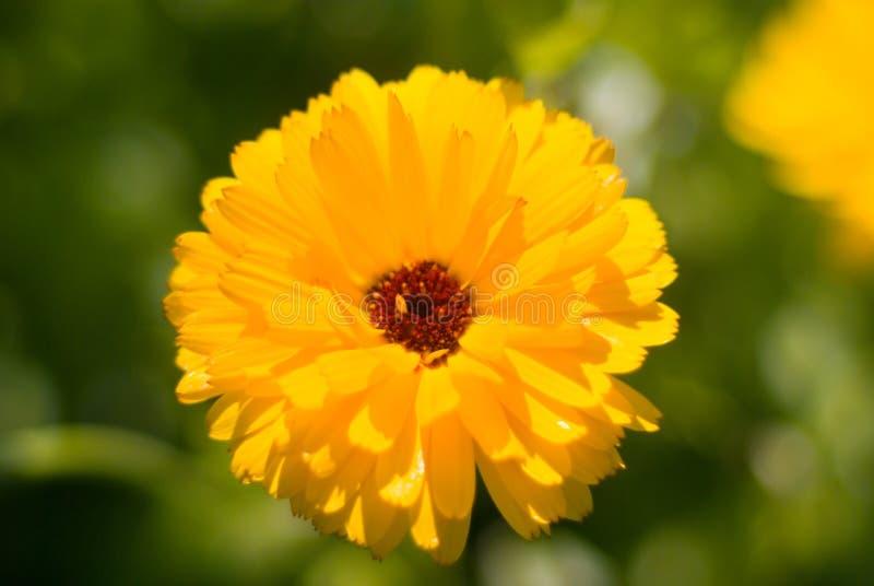 Campo do marigold de potenciômetro (officinalis do Calendula) foto de stock