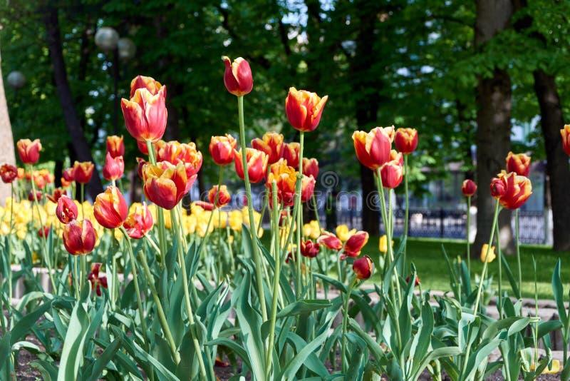 Campo do mayday vermelho das tulipas imagens de stock royalty free