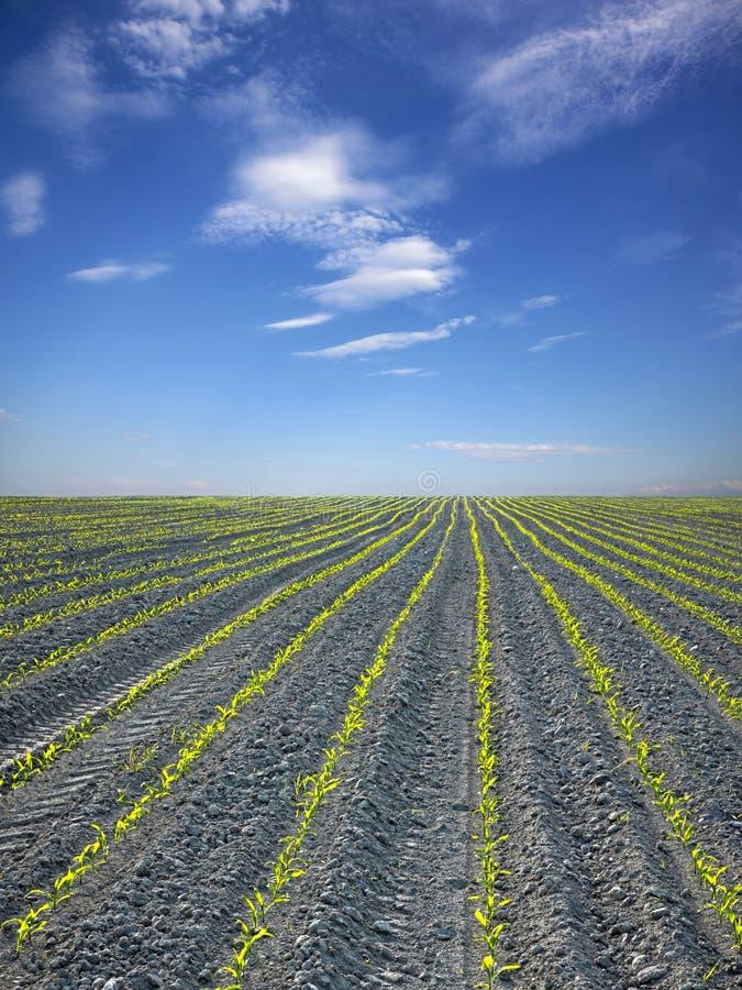 Campo do milho e do céu foto de stock