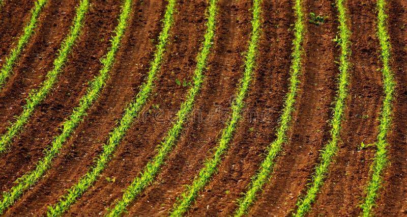 Campo do milho na luz solar da mola imagens de stock royalty free