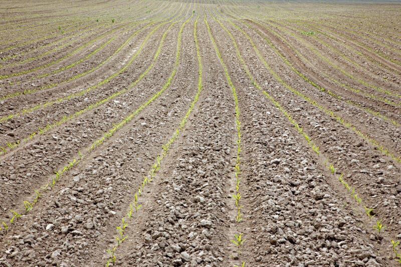 Campo do milho na mola imagem de stock