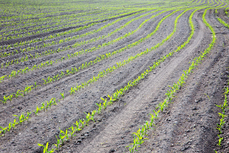 Campo do milho na mola imagem de stock royalty free