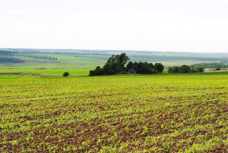 Campo do milho do milho na mola ao longo das árvores e dos montes no horizonte, no céu e nas nuvens fotografia de stock royalty free