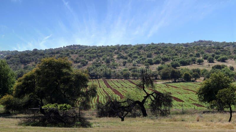 Campo do milho no tempo de mola, área de Parys, noroeste, África do Sul fotos de stock