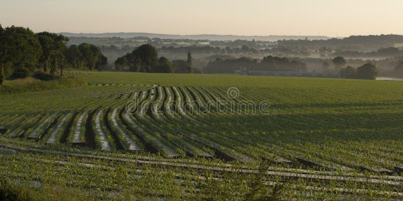 Campo do milho recentemente plantado para a alimentação do gado imagens de stock