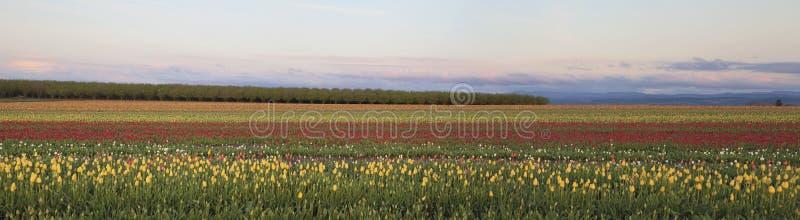 Campo do panorama das tulipas imagem de stock royalty free