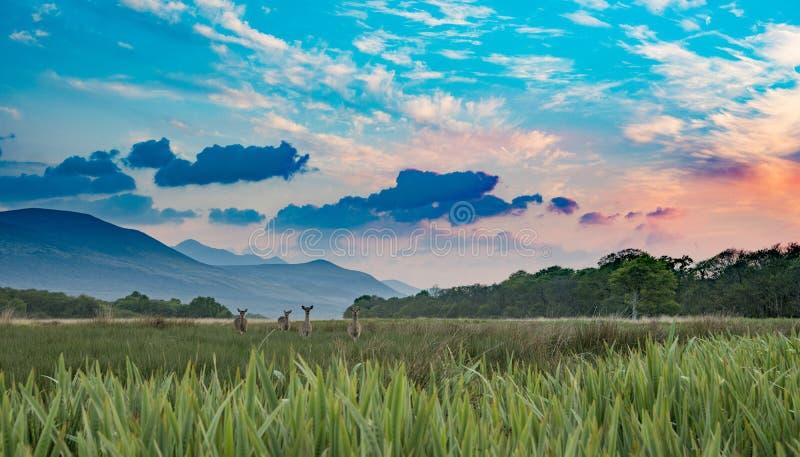 Campo do prado da paisagem com grama no por do sol alaranjado, nas montanhas e nas nuvens Parque nacional de Killarney, Irlanda fotografia de stock