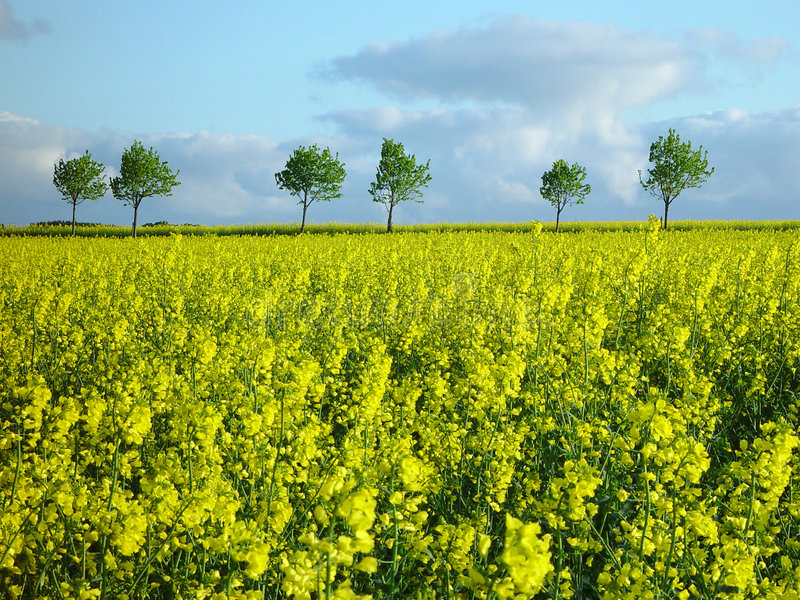 Campo do Rapeseed