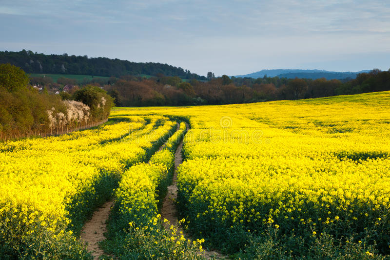Campo do Rapeseed no por do sol fotos de stock royalty free