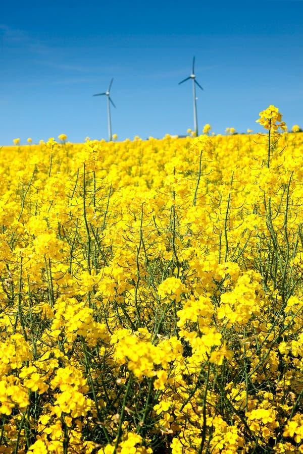 Campo do rapeseed no verão imagens de stock