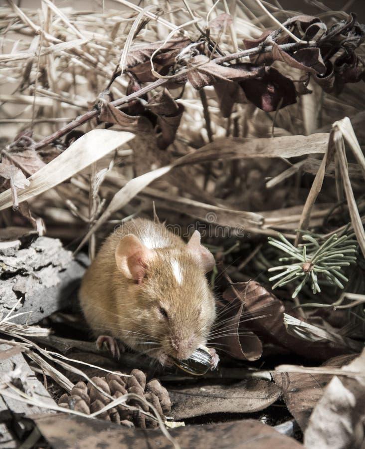 Campo do rato de Brown fotografia de stock