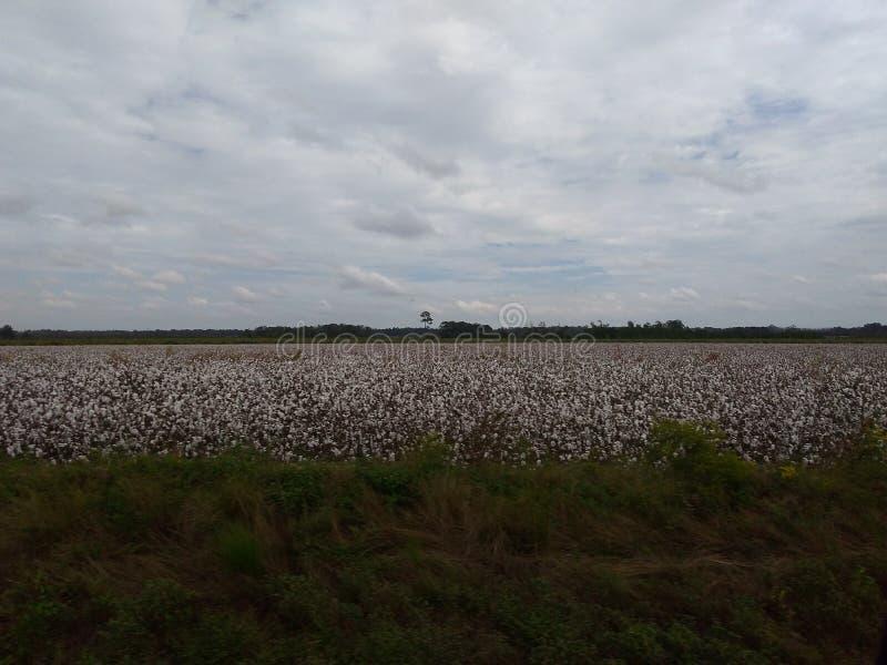 Campo do sul do algodão fotografia de stock