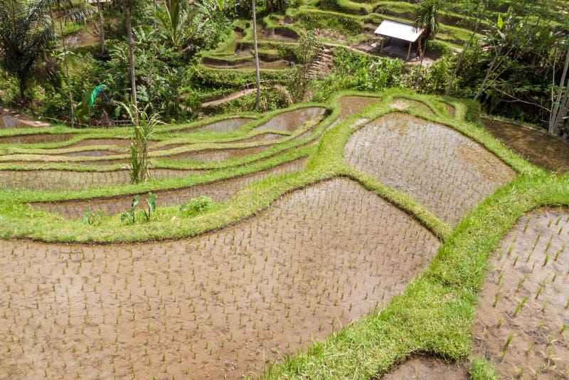 Campo do terraço do arroz, Ubud, Bali, Indonésia fotos de stock