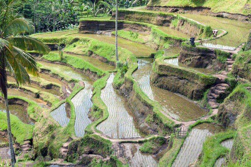 Campo do terraço do arroz, Ubud, Bali, Indonésia fotos de stock royalty free