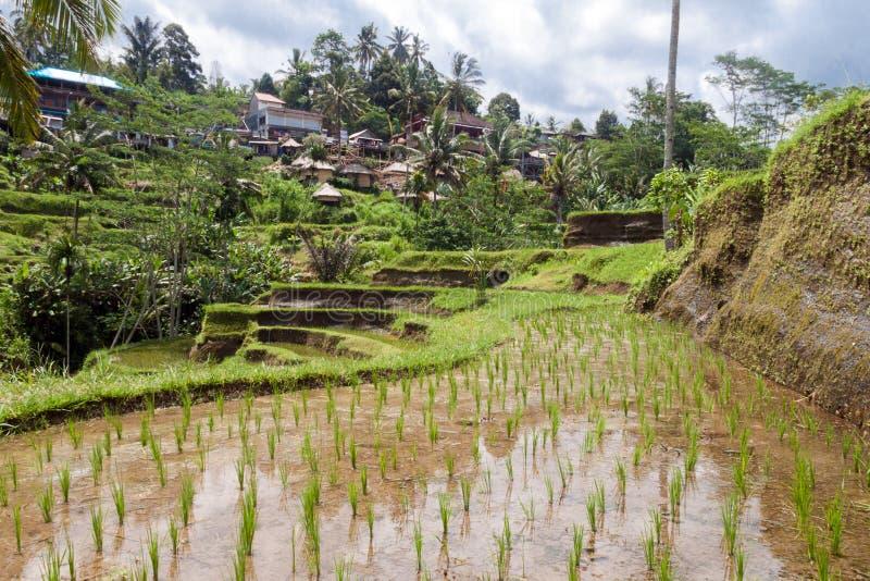 Campo do terraço do arroz, Ubud, Bali, Indonésia imagem de stock royalty free
