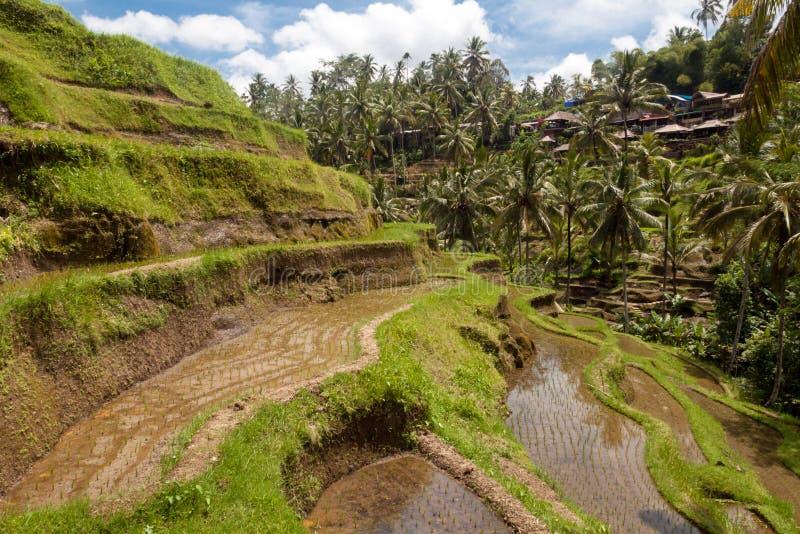 Campo do terraço do arroz, Ubud, Bali, Indonésia fotografia de stock royalty free