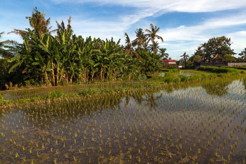 Campo do terraço do arroz, Ubud, Bali, Indonésia imagem de stock