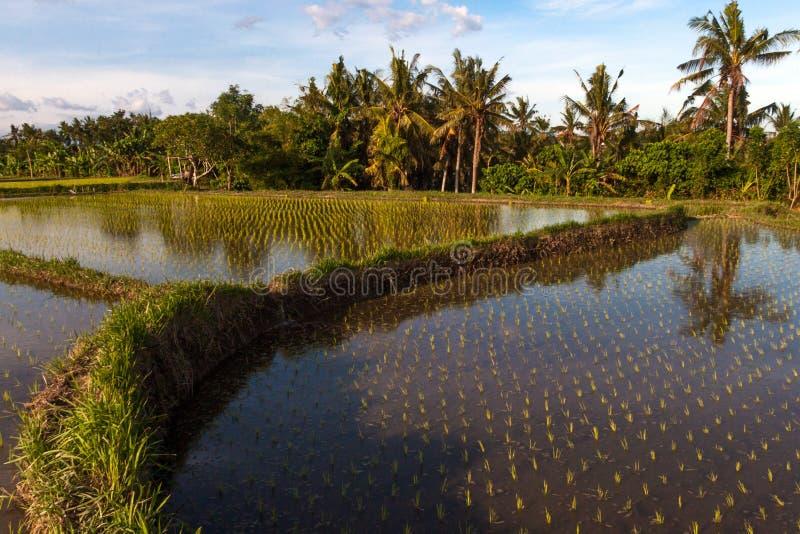 Campo do terraço do arroz, Ubud, Bali, Indonésia imagens de stock royalty free