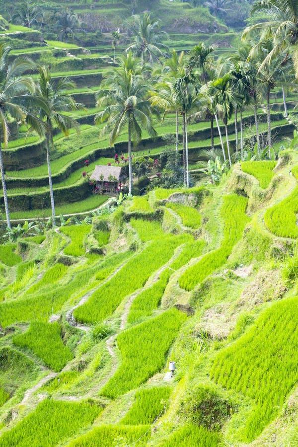 Download Campo do terraço do arroz foto de stock. Imagem de monte - 26504928