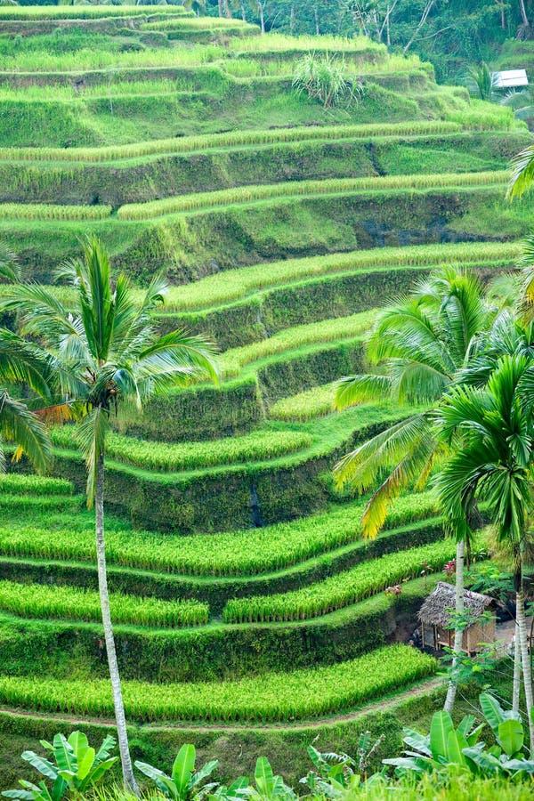 Campo do terraço do arroz, Ubud, Bali, Indonésia. imagem de stock