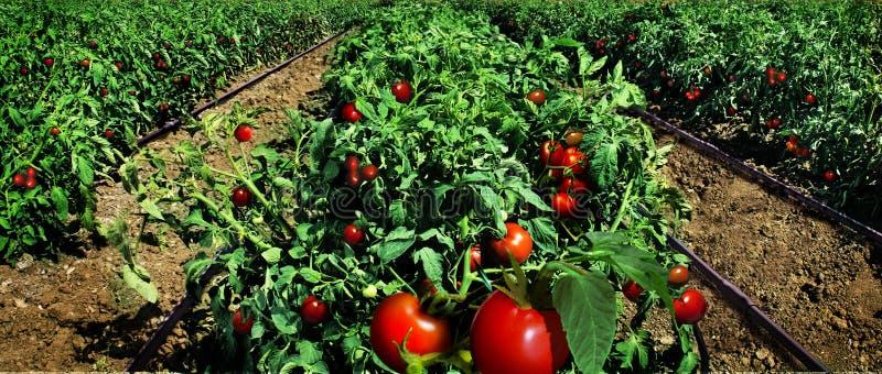 Campo do tomate pronto para a colheita fotos de stock