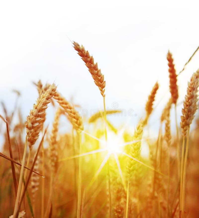 Campo do trigo e do sol amarelos imagens de stock royalty free