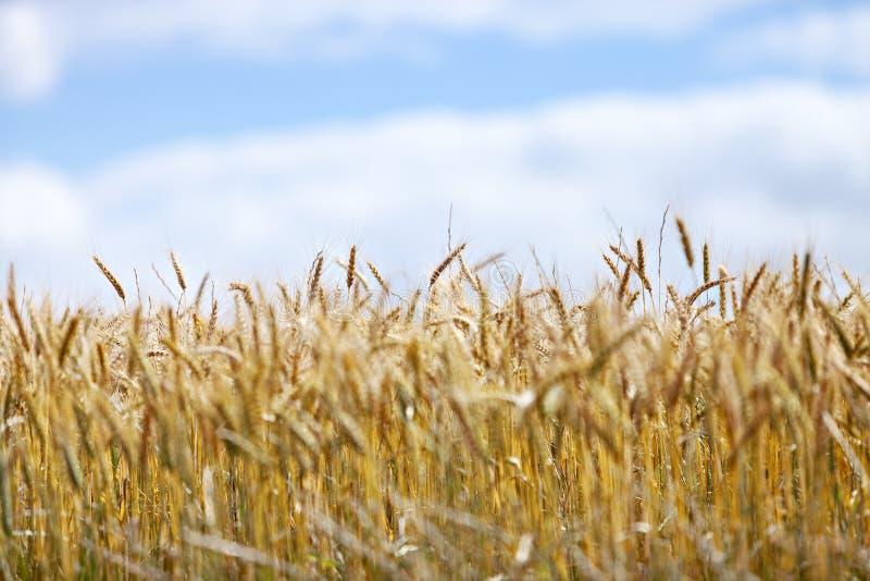 Campo do trigo maduro de encontro ao céu azul fotos de stock