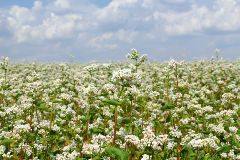Campo do trigo mourisco foto de stock
