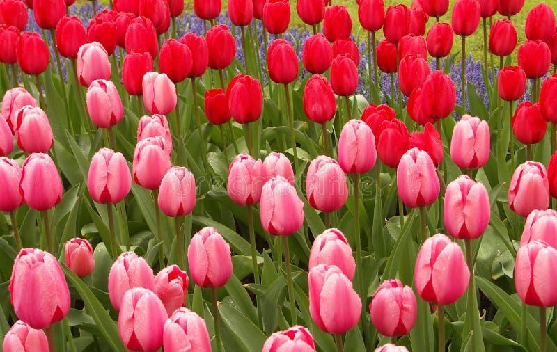 Campo do Tulip imagem de stock