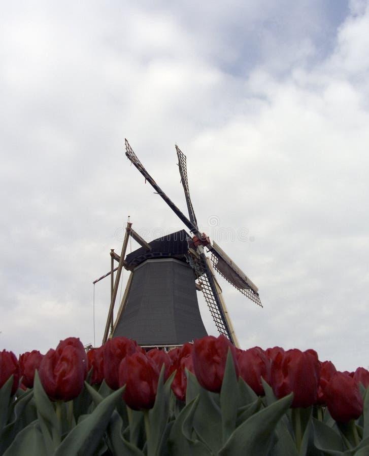 Campo do Tulip do campo foto de stock