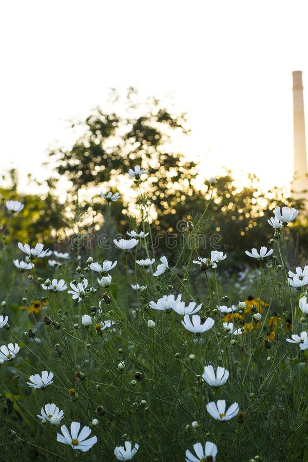 Campo do verão com as flores do cosmos no por do sol imagens de stock royalty free