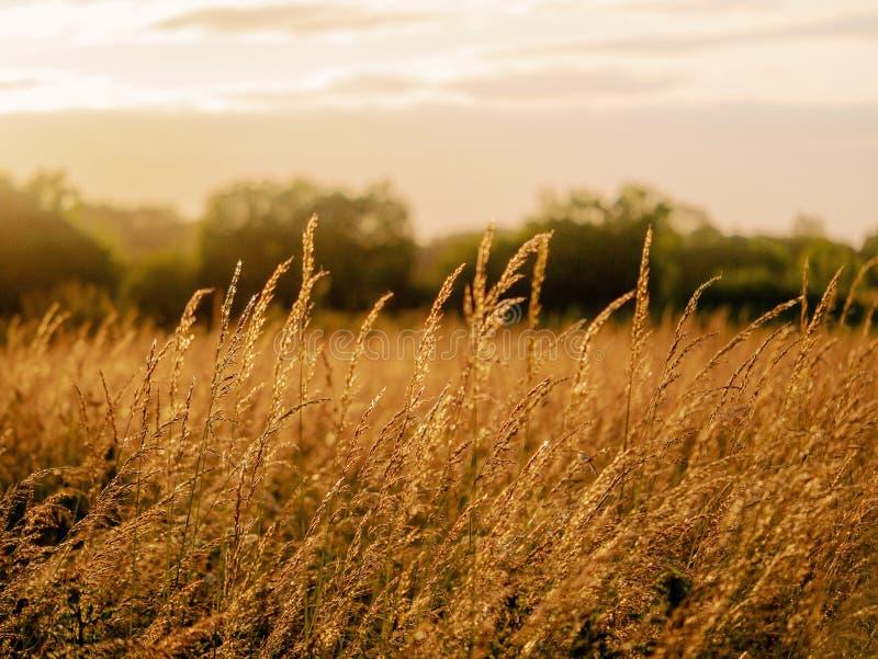 Campo do verão no por do sol, cores mornas, foco seletivo Paisagem simples da natureza foto de stock