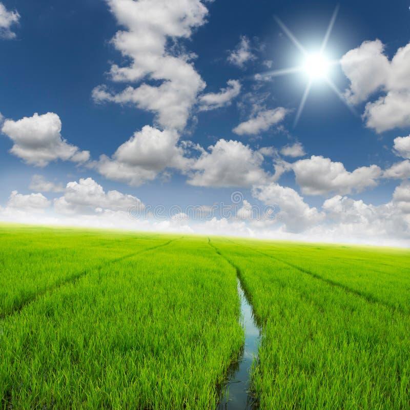 Campo do verde do arroz da agricultura e céu azul imagem de stock royalty free
