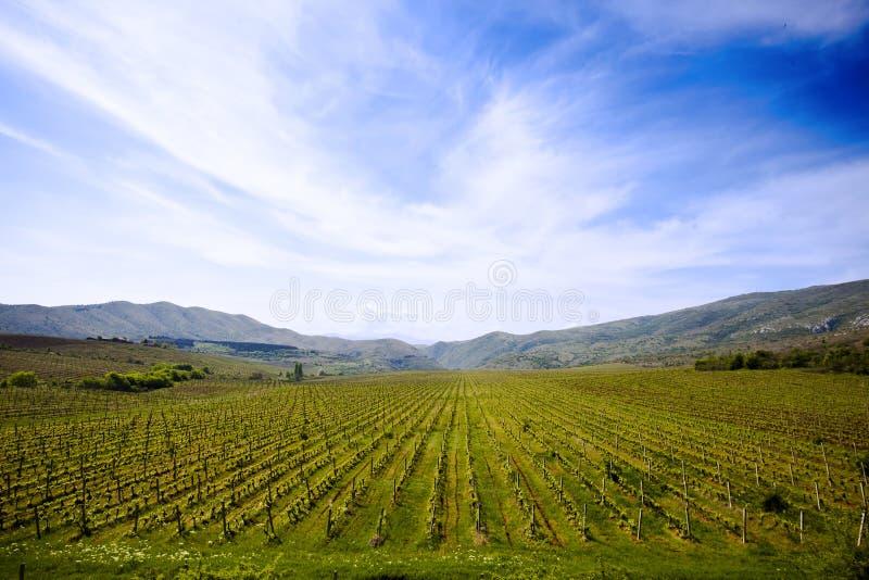 Campo do vinhedo em Macedónia imagens de stock