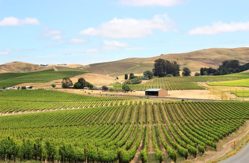 Campo do vinhedo em Napa Valley fotos de stock royalty free