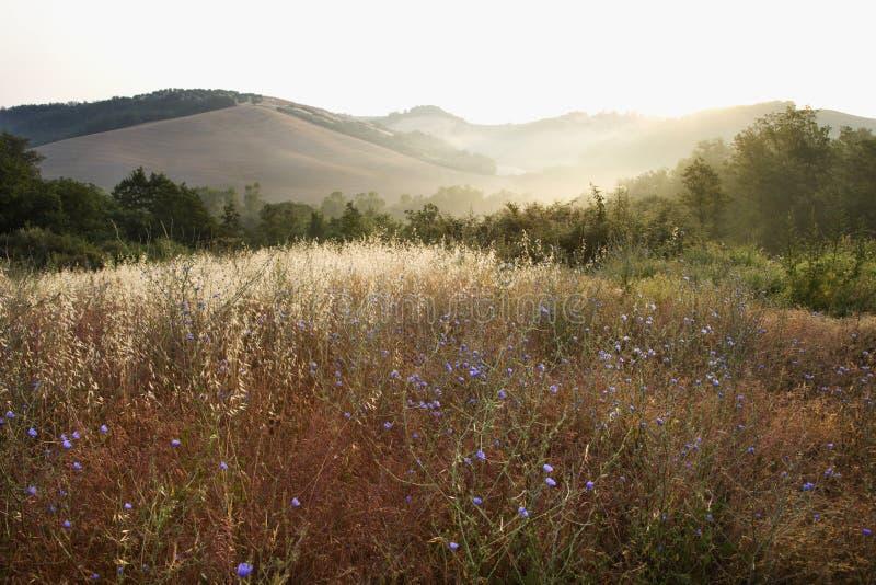 Campo do wildflower da chicória em Toscânia, Italy. fotografia de stock