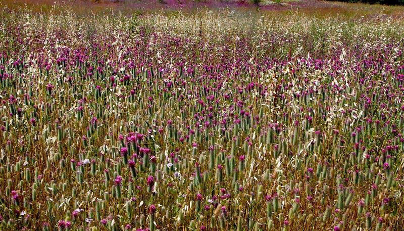 Campo do Wildflower em Provence fotos de stock royalty free