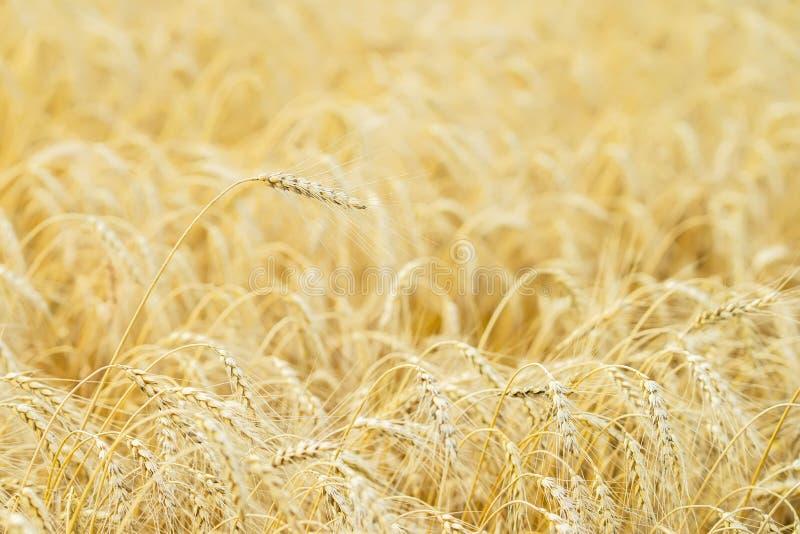 Campo dorato dei cereali maturi Un alto primo piano maturo alto del cereale del pieno fiore su un pomeriggio caldo di estate cont immagini stock libere da diritti