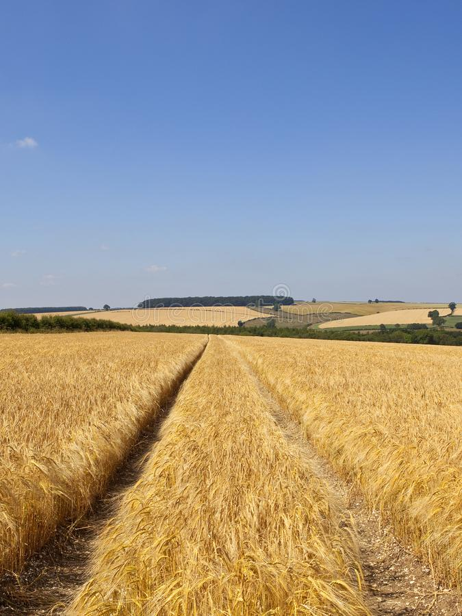 Campo dorato dell'orzo in un paesaggio di estate della rappezzatura immagini stock libere da diritti