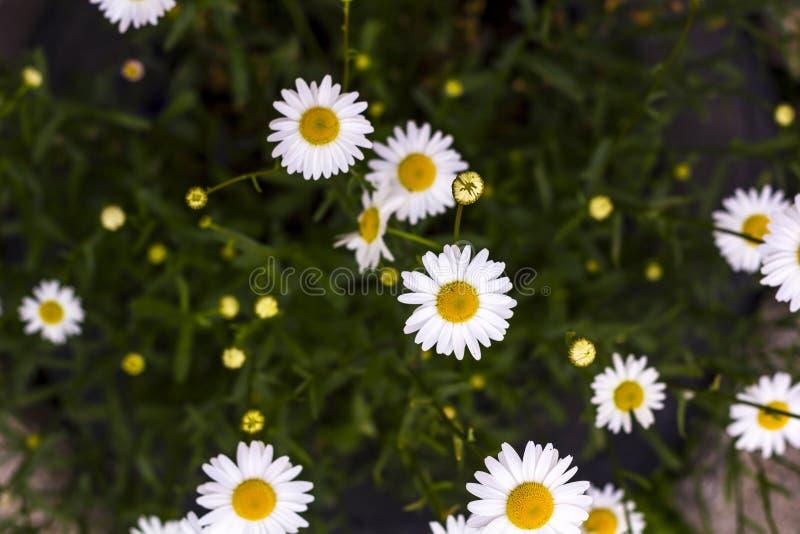 Campo dos camomiles no dia ensolarado na natureza Flores da margarida da camomila fotos de stock royalty free