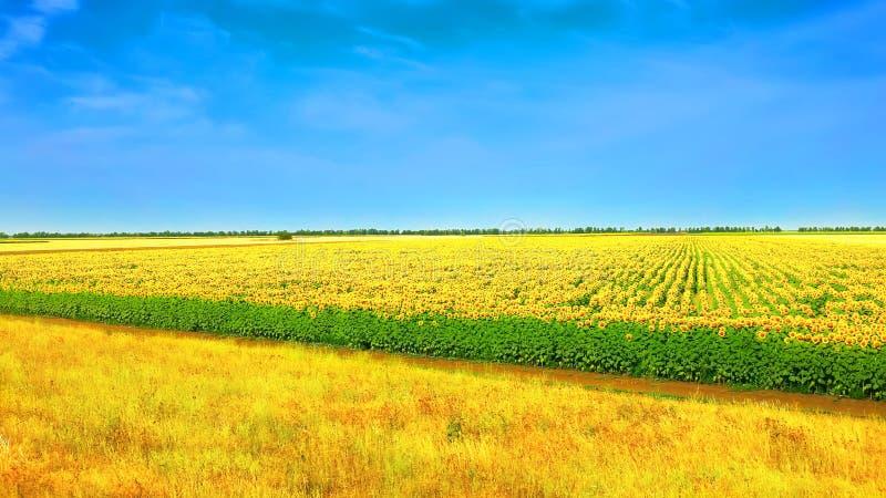 Campo dos girassóis com céu azul imagens de stock