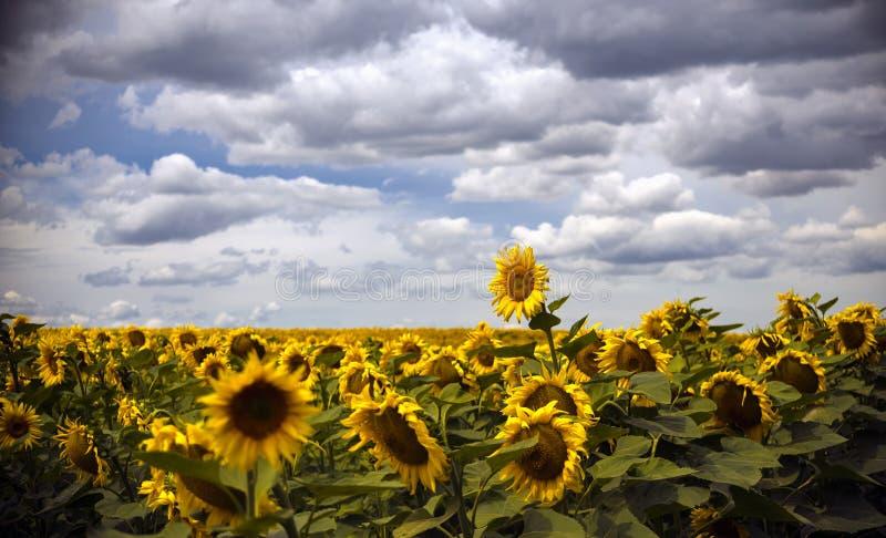 Campo dos girassóis sob um céu azul nas nuvens fotografia de stock