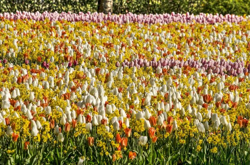 Campo dos narcisos amarelos e das tulipas imagem de stock